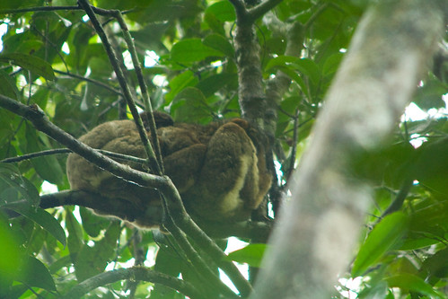 Eastern Woolly Lemur - Analamazaotra National Park (Périnet), Madagascar