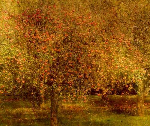[フリー画像] 自然・風景, 樹木, リンゴ, 201009210700