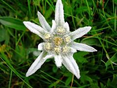 Stella Alpina (Edelweiss)  Il fiore (anche se non  l'infiorescenza) delle Alpi (giovanni_novara) Tags: italy mountain flower italia fiore alpi montagna edelweiss dolomiti ohhh valgardena stellaalpina sudtyrol trentinoaltoadige selvavalgardena platinumheartaward