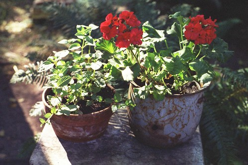 new geraniums