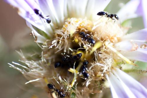 antsflower