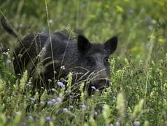 Sanglier (Mathieu GUY) Tags: animal pig jura huge beast roar cochon bete defense dents truie groin wildschwein wildpig sauvage laie ivoire hure platinumphoto anawesomeshot