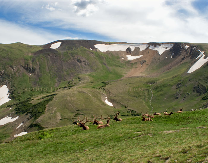 Elk herd in alpine mountains of Rocky Mountain National Park, Colorado