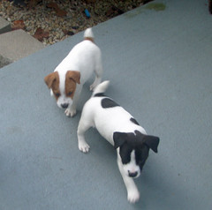 Find the perfect Mountain Feist puppy for sale