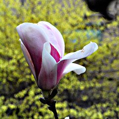 LONE MAGNOLIA (!@W) Tags: tree magnolia lone chill budding