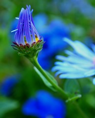 that mood indigo (Darwin Bell) Tags: blue macro green nature dof daisy fllower