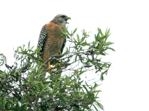 Red-shouldered Hawk 20100925