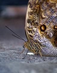 Butterfly portrait (Jaedde & Sis) Tags: portrait macro butterfly patterns morpho thumbsup sweep bigmomma gamewinner challengeyouwinner acfy challengefactorywinner thechallengefactory yourock1st rocking1st herowinner acfyunanimous pregamewinner acfysweepchallenge morethan2legs