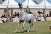 Trapani Arabian Horses Cup (giò82) Tags: horses italy horse cup canon eos italia sicily tele arabian cavalli cavallo sicilia trapani arabianhorses 550d 55250