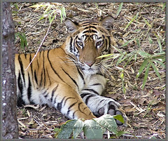 Sick Tiger (rparker287) Tags: india endangered wildtiger indiantiger royalbengaltiger flickrbigcats seenfromelephant banhavgarth