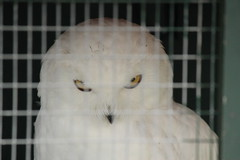 Snowy owl in a cage