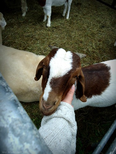 sweet faced goat enjoying a scratch