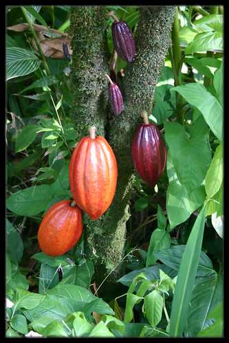 Cacaoyer - Aztèque