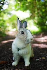 fukusuke-pon  (fukusuke-pon ) Tags: cute rabbit bunny japan adorable handsome   osaka ikeda satsukiyama