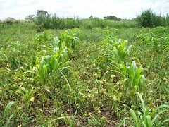 Maize and beans grow together