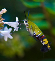 Clearwing Hawk Moth Feeding, Cephonodes hylas (aeschylus18917) Tags: macro nature japan insect nikon g flight moth  lepidoptera micro macroglossinae  nikkor f28 vr pxt  hawkmoth 105mm insecta 105mmf28  cephonodeshylas pellucidhawkmoth 105mmf28gvrmicro d700 nikkor105mmf28gvrmicro  cephonodes sphingidaemundi clearwinghawkmoth danielruyle aeschylus18917 danruyle druyle