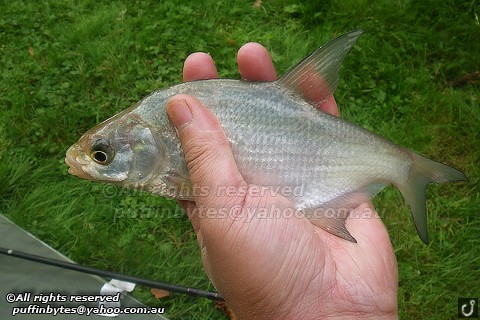 Bream - Abramis brama
