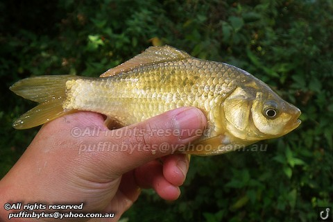 Brown Goldfish - Carassius auratus