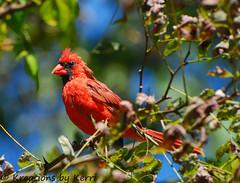 September Red (KerriFar) Tags: bird nature birds outdoors cardinal birding malecardinal deerfieldtrail