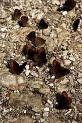 Alpen-Mohrenfalter I (pascal_ernst) Tags: rot grau steine braun weg schmetterling salz alpenmohrenfalter erebia triaria