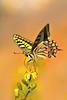 "Giant Swallowtail (aziouezmazouz) Tags: macro cute butterfly insect colours vivid legacy pictureperfect bellissima naturesfinest awesomeshot mfcc vibrantcolours canon100mm mywinners anawesomeshot macromarvels fabuleuse ""flickraward"" bestofmywinners vividstriking naturesanct amazingwildlifephotography"