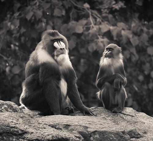 フリー写真素材, 動物, 哺乳類, オナガザル科, マンドリル, 家族・親子(動物), モノクロ写真,