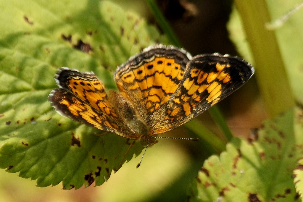 Pearl Crescent Butterfly  3