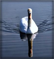 mute swan (philipelton50) Tags: qualitygold