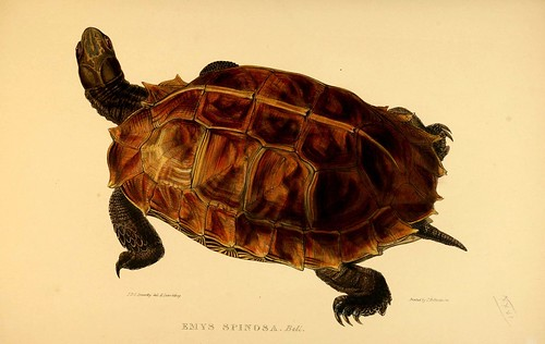 013-Emys Spinosa Bell-Tortoises terrapins and turtles..1872-James Sowerby