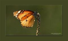 Nature's Fiesta - 2 (Harvarinder Singh) Tags: canon butterfly butterflies impressedbeauty harvarindersinghphotography harvarindersingh canon70200mmlisf28