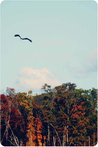 bald eagle {sherburne national wildlife refuge}
