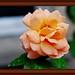 Edmond Rose Photo 7