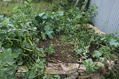 Broad bean patch