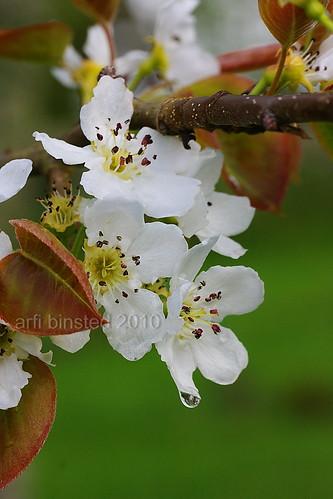 nashi blooms