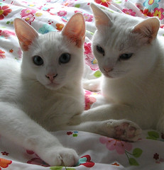 Snoopy and Daisy (twinkle_moon_bunny) Tags: cats white cute cat snoopy daisy
