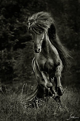 (Ke_Si) Tags: bw horse nature monochrome animal canon cheval movement noir natur bewegung 5d sw et blanc pferd fell equine hengst glanz gallopp galopp islnder mhne wiesenhof smkphoto silkekemmer