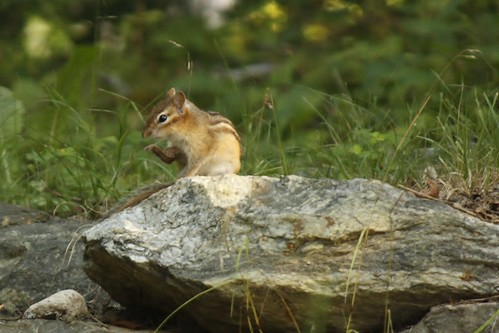 Chipmunk (6)