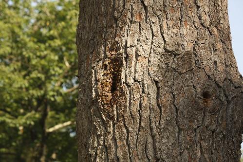 Honey Bee Tree  28