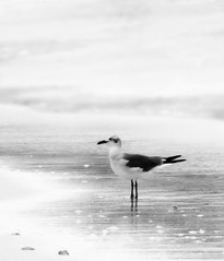 Oceanside Fog (Chris Charalabous (is off for a week )) Tags: ocean white bird beach nature water birds fog flickr seagull jvc chrischaralabous