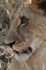 Waaa! (sparkeypants) Tags: africa travel cats cat canon geotagged lion lions zambia livingstone dragondaggerphoto