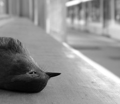 Dying in train station (Bernard l Hermite) Tags: blackandwhite reflection bird eye robin station animal train death sadness tears sad zoom beak feathers blurred triste trainstation bec oiseau deadbird blackeye plumes rougegorge lastbreath