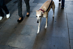 Canes Venatici (Funesphoto) Tags: barcelona street color colour perro canes 2010 galgo lebrel venatici funesphoto
