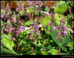 Dhofari Basil, Ocimum dhofarense, Flowers and Female Canary Carpenter Bee, Xylocopa aestuans, in Ghado, Salalah, Dhofar (Shanfari.net) Tags: cloud plant nature rain female lumix raw natural cloudy panasonic bee rainy basil plantae oman fz carpenter zufar rehan lamiaceae rw2 salalah sultanate dhofar  apidae xylocopinae xylocopa ocimum angiosperms khareef  rihan eudicots  aestuans   lamiales dufar  asterids       nepetoideae  dhufar governorate     dofar fz38 dhofari xylocopaaestuans xylocopini fz35 dmcfz35 becium  dhofarense ocimumdhofarense beciumdhofarense  ocimeae