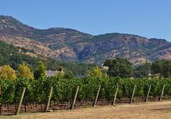 Cliff Lede Vineyards w/ Mountains Beyond (DigitalZAK) Tags: vineyards olives napavalley napavalleysept2010