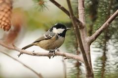 Cincia mora (giansacca) Tags: birds animals aves uccelli animaux animali vogel oiseaux coaltit periparusater parusater tannenmeise msangenoire cinciamora carbonerogarrapinos mygearandmepremium
