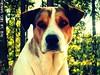 the loyalty of a dog (Willow Creek Photography) Tags: dog mutt hound headshot loyalty dogportrait brownandwhitedog pitbullmix houndmix dogheadshot harleyrey