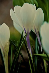 Tranquility! (arjang10) Tags: white canada flower crocus