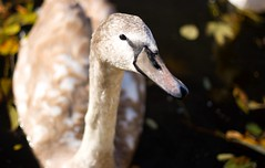 Swan (ardnocz) Tags: autumn bird fall nature colors swimming river swan republic close czech prague feeding praha swans vltava