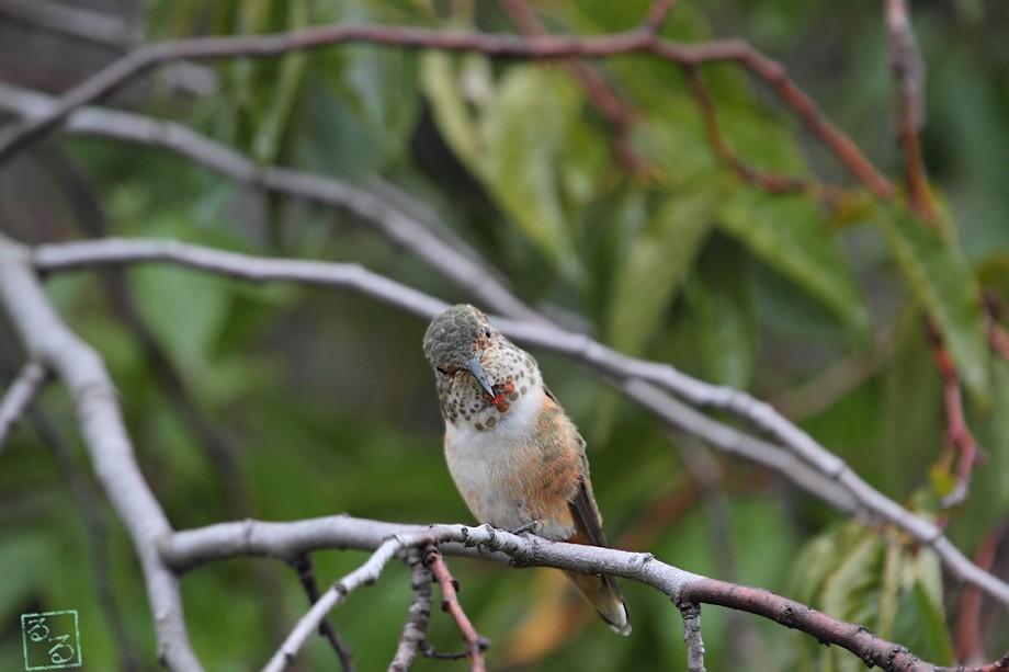 Allen's Hummingbird 101810-5