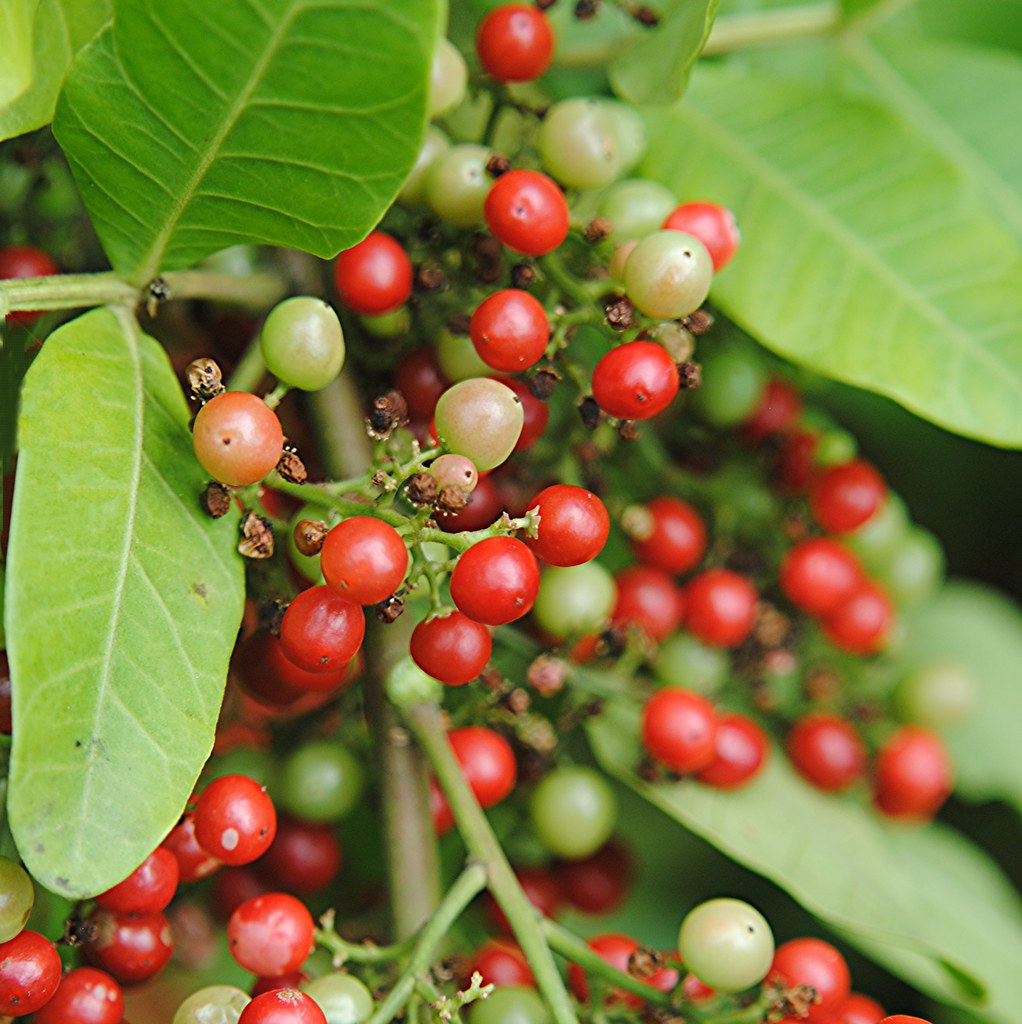 Florida Holly berries are blushing and reddening